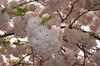 Blog_sakurasaku_200604018_002